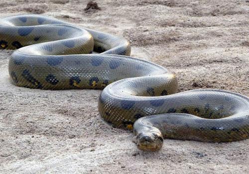 星座屋 周公解梦 动物 > 正文     孕妇梦见大蟒蛇,虽然不代表自己