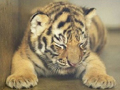 从出生时间看虎一生命运